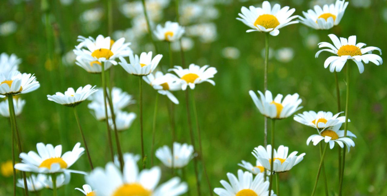Field of Daisies Spring Trend